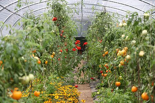Tomates et herbes potagères dans une serre.