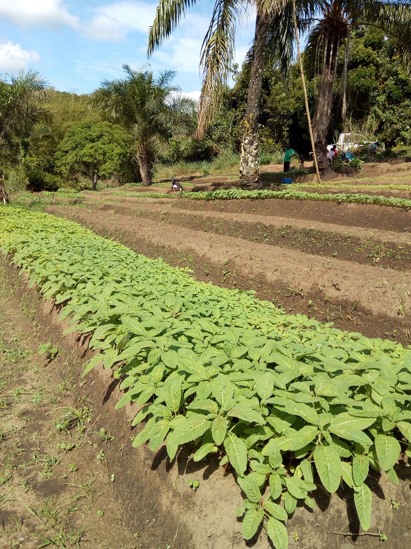 Plantation en Afrique, champ cultivé à l'avant-plan, palmiers et agriculteurs à l'arrière-plan